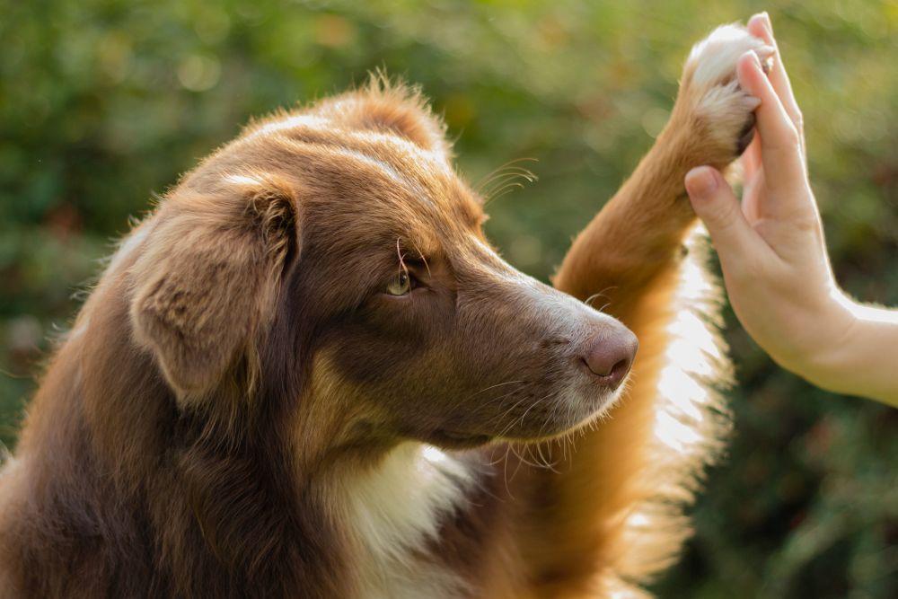Der Australian Shepherd als Therapiehund
