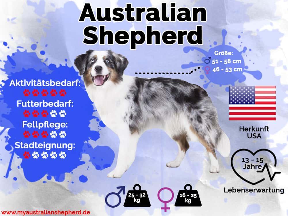 Australian Shepherd Infografik