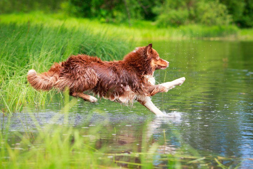 Australian Shepherd springt ins Wasser