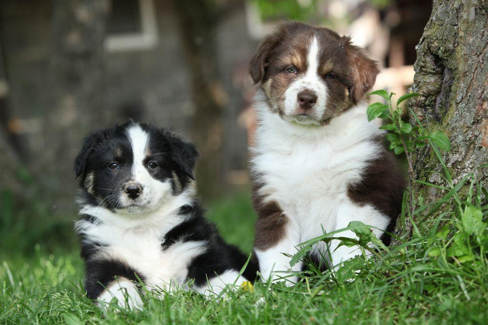 Unterschied im Charakter zwischen dem Australian Shepherd Rüden und Hündin