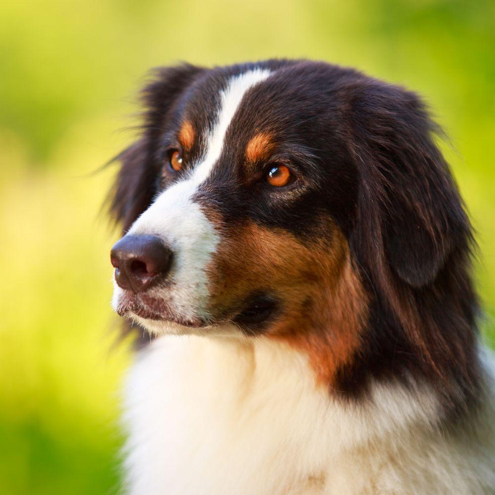 Australian Shepherd Kaufen Worauf Muss Ich Achten