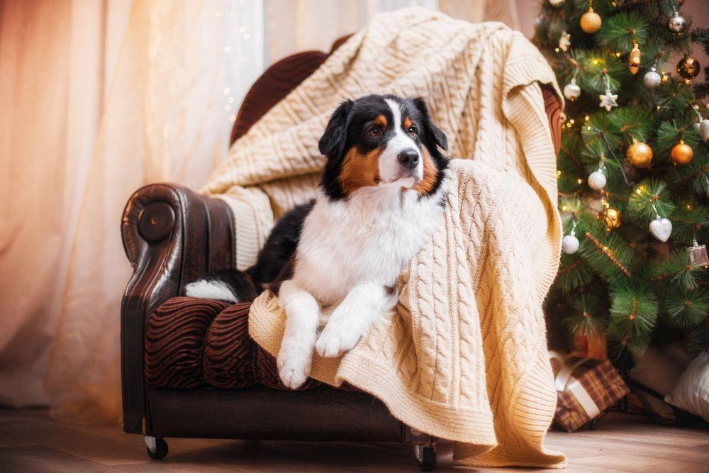 australian shepherd kaufen worauf muss ich achten. Black Bedroom Furniture Sets. Home Design Ideas