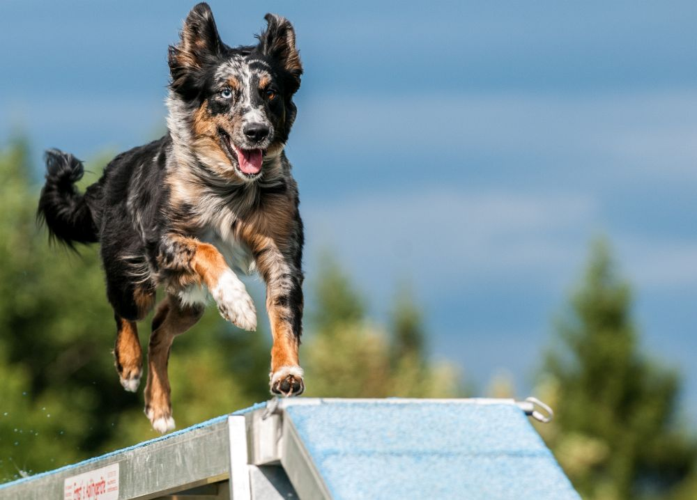 Australian Shepherd und Hundesport