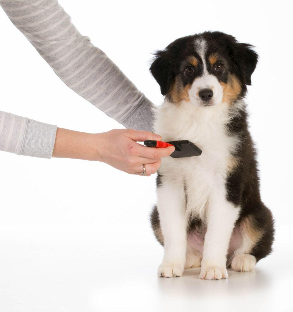 Braucht ein Australian Shepherd viel Pflege?