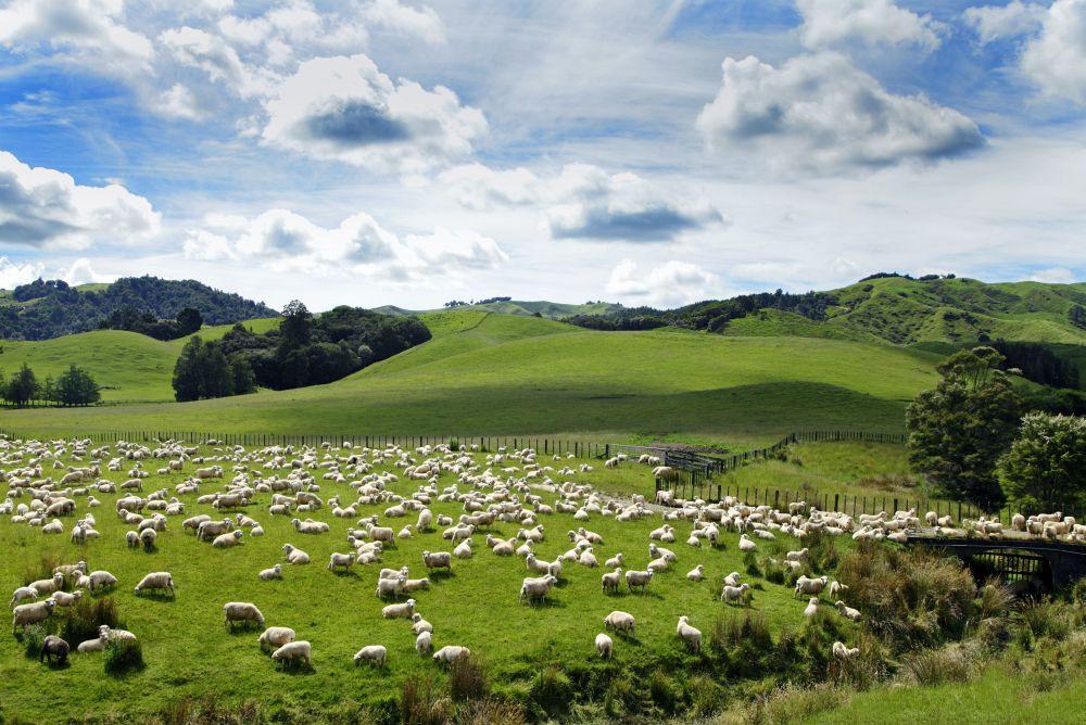 Schafherde - Ideale Arbeitsbedingungen für einen Australiian Shepherd