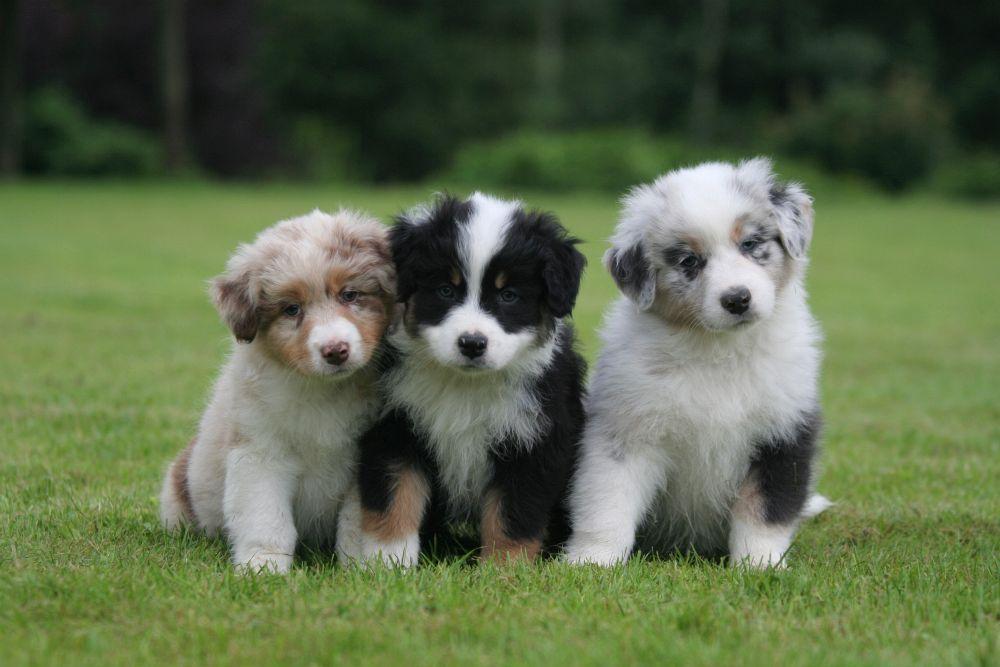 Drei Australian Shepherd Welpen