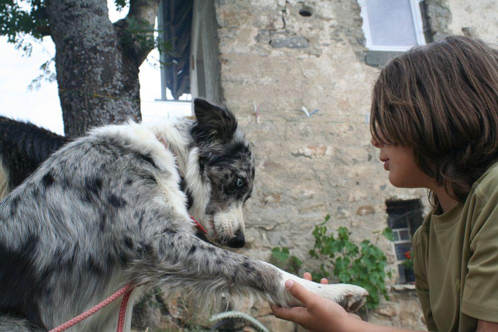 Australian Shepherd Krallen schneiden