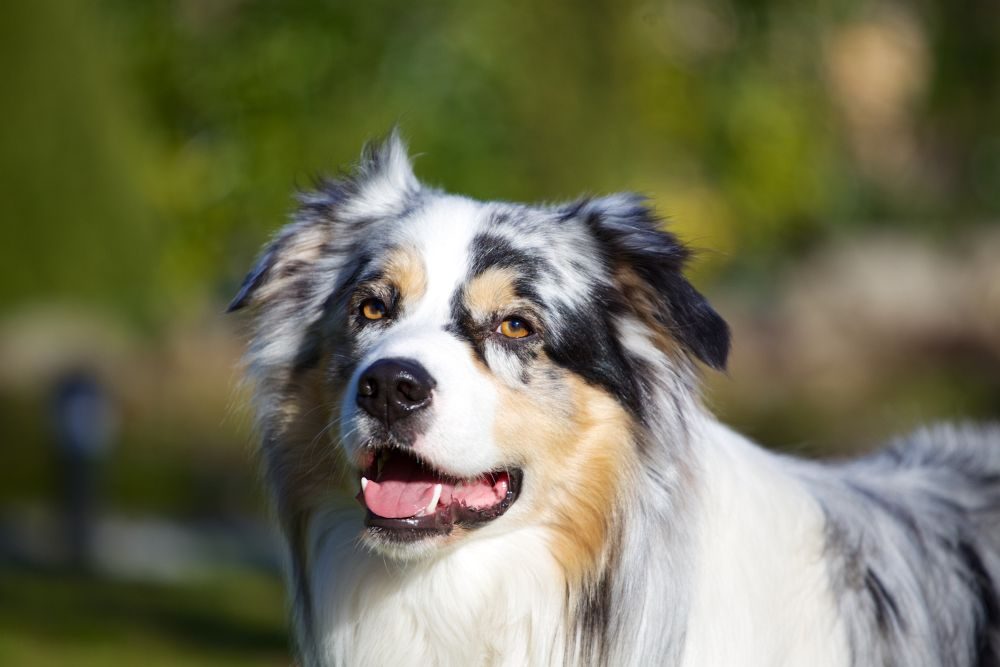 Lebenserwartung des Australian Shepherds