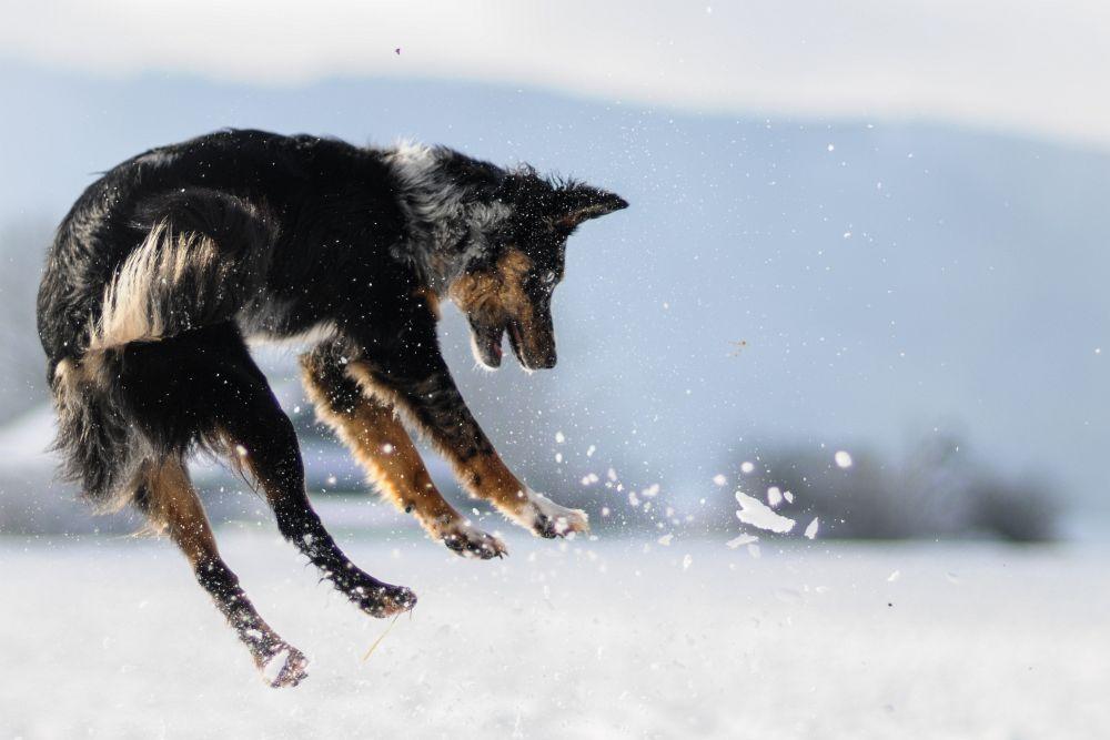 Streusalz im Winter kann die Pfoten des Australian Shepherd sehr angreifen. Dann ist die Pfotenpflege besonders wichtig.