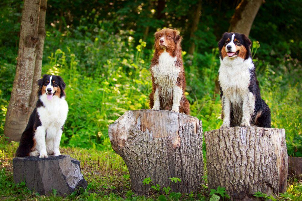 Besonders in Wald und Wiesen lauern die Zecken auf den Australian Shepherd
