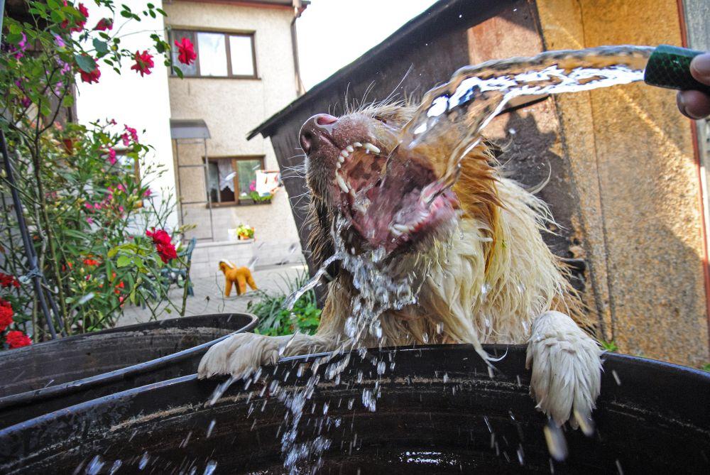 Der Australian Shepherd sollte immer Zugang zu frischem Wasser haben.