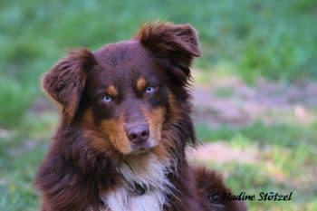 Australian Shepherd Deckrüde red tri mit blauen Augen ASCA Papiere