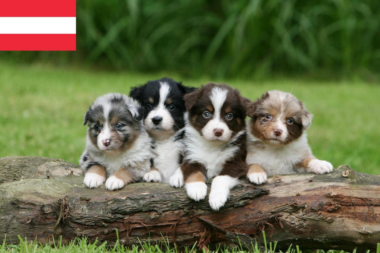 Züchter für Australian Shepherds in Österreich