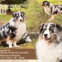"""Australian Shepherd Deckrüde Blue Merle """"Filou"""" www.YellowstoneAussies.de"""