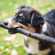 Australian Shepherd dog portrait outdoors playing with stick.
